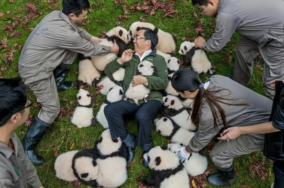 Wild pandas now apparent in northwestern China