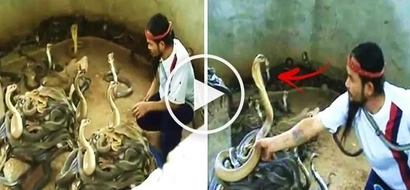 Watch this brave man enter a pit filled with deadly cobras! What happens to him next will terrify you!