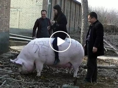 Gigantic 750 kg pig leaves his legacy as the Chinese Pig King