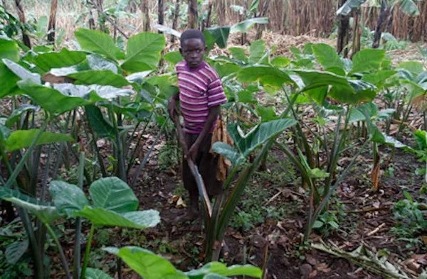 The boy tending to their farm. Photo: Daily Monitor