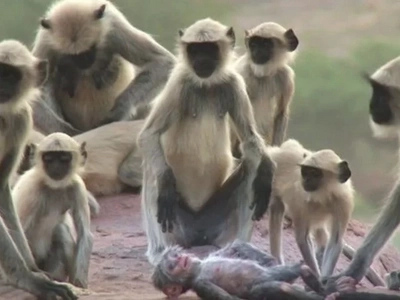 A Group Of Langur Monkeys Grieve Over A Robot Monkey