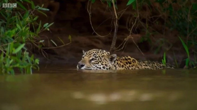 Incredible Footage Of A Jaguar Killing An Alligator By Crushing Its Skull