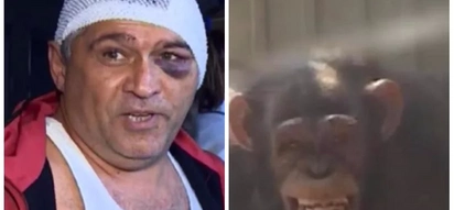 Keep off! Chimpanzee bites off zookeeper's fingers because he was flirting with his female partner