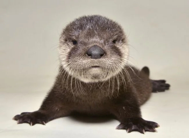 Find out how this orphaned baby otter was rescued and nursed back to health