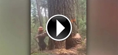 A woodcutter started to take down an old tree... Watch the orange line!