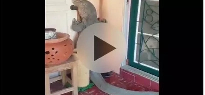 WATCH: Man finds monster lizard at home; what he did next is unbelievable