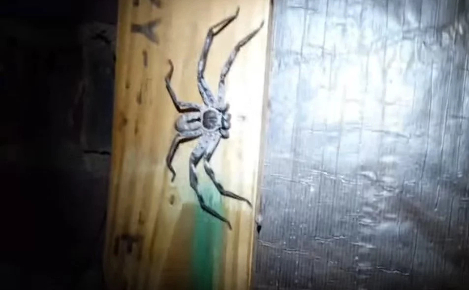 Horrifying video of gigantic spider EGG SAC exploding spilling HUNDREDS of baby spiders out (photos, video)