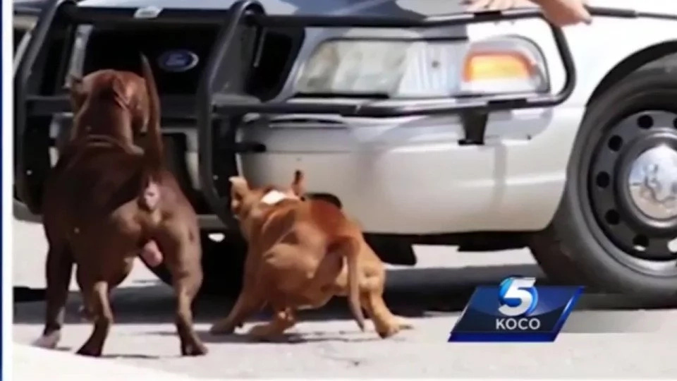 Policía salvó a hombre del ataque de dos Pitbulls enfurecidos