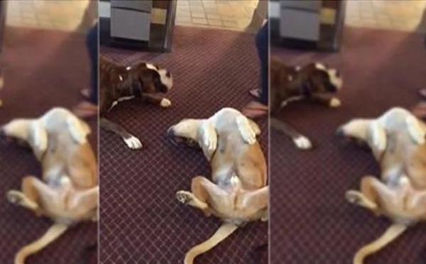 Este perro se preocupa cuando ve a su amigo fingir que está muerto