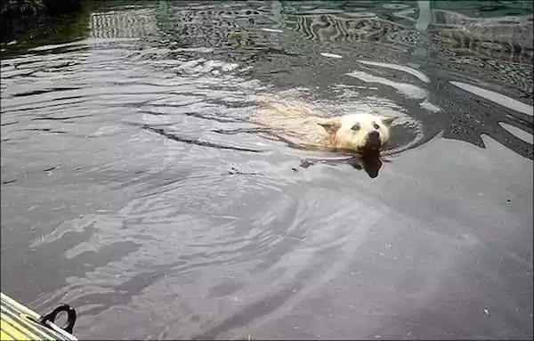 Druzhok Swims