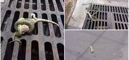 Cunning gecko plays dead before making daring escape from jaws of venomous snake