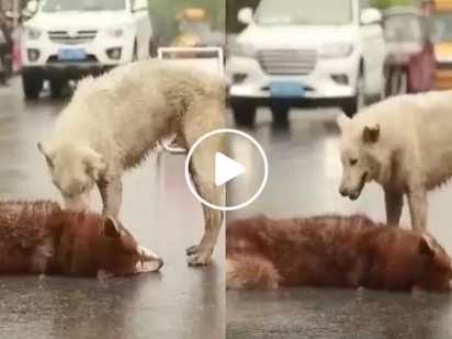 This video of a stray dog staying by his dead friend's side will make you cry a river