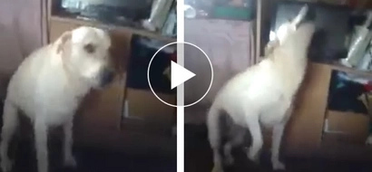 Hilarious dog caught 'twerking it like Miley' in Baguio