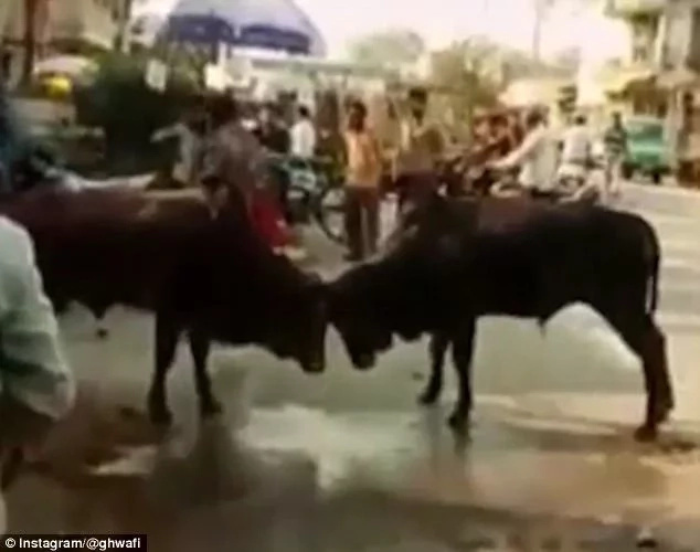 Stubborn drunkard tries to separate two angry bulls fighting on the road, end result was spectacular