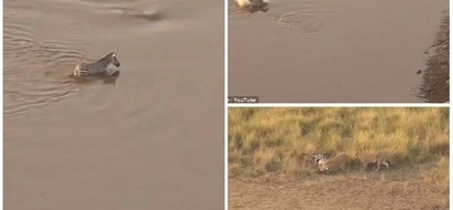 Thought you had a rough day? This zebra escaped vicious crocodiles only to be munched by lions