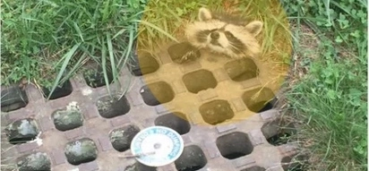It took only a little cooking grease to rescue this raccoon stuck in sewer drain