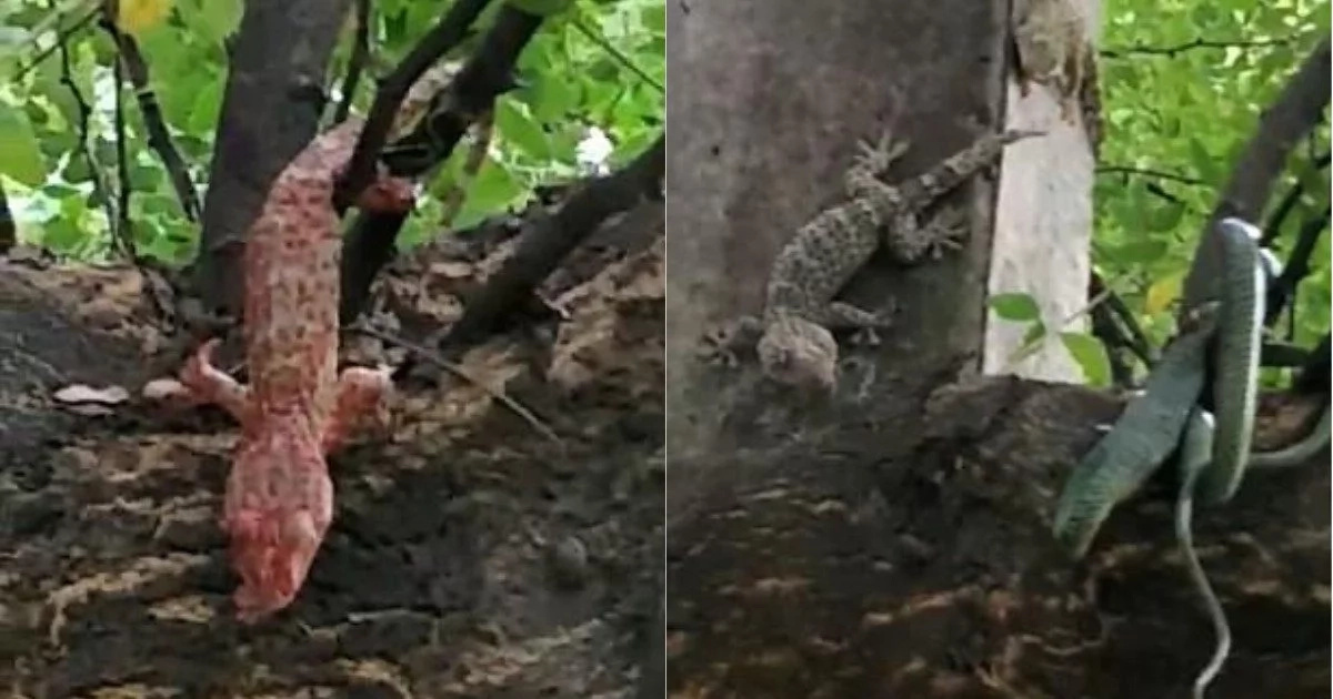 Implausible moment as lizards force snake to spit gecko it had swallowed up
