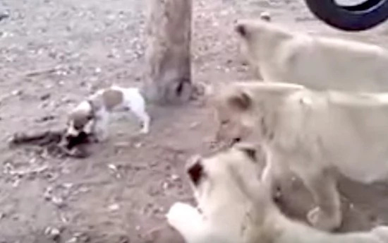 Jack Russell terrier fights of 3 lion cubs that are after his lunch