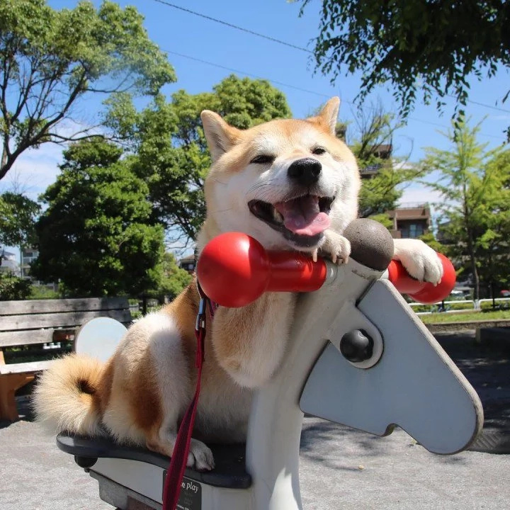 This Little Shiba Dog will Melt your Heart with Her Cute Smile!