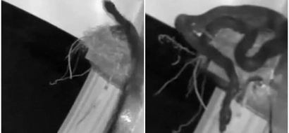 Snake caught on camera suffocating ENTIRE nest of chicks one-by-one (photos, video)