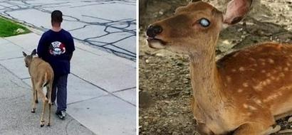 Conmovedor: Cada mañana antes de la escuela este niño de 10 años pasea a un ciervo ciego para alimentarlo con hierba