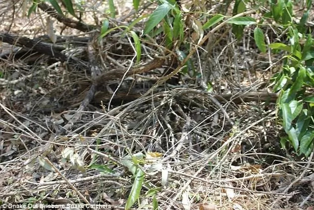 Can you spot the deadly brown snake among the branches?