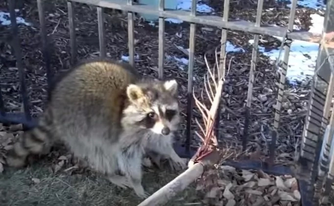 raccoon-clip