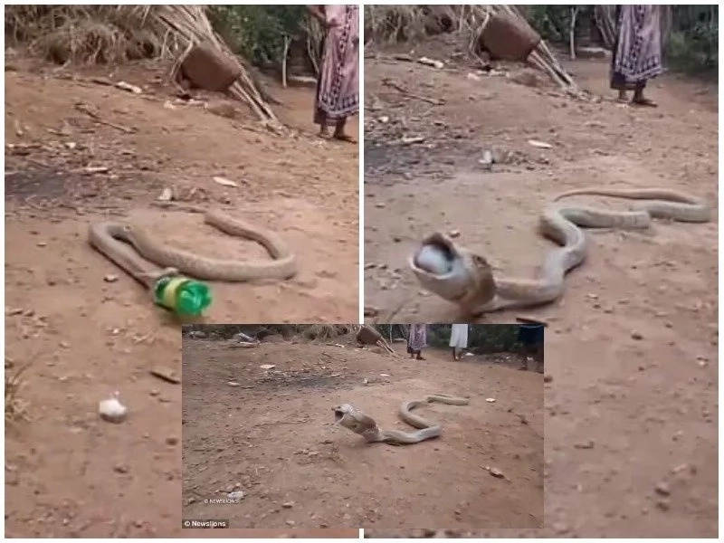 This snake swallows soda bottle whole after its attempts to squeeze and eat it fails badly (photos, video)