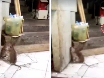Ang intense! Two huge rats fight against each other while a cat looks on