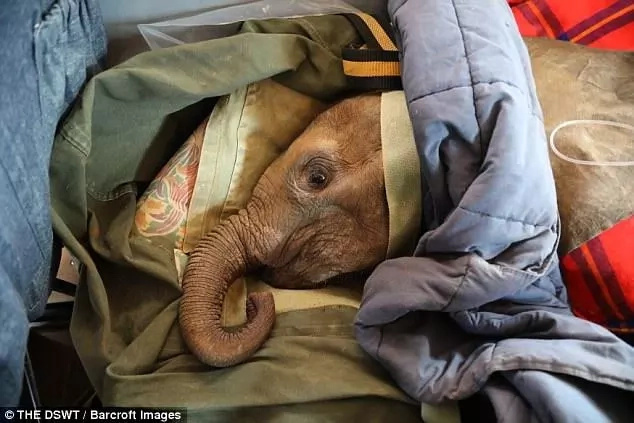His mother was presumed poached. Photo: The DSWT/Barcroft Images