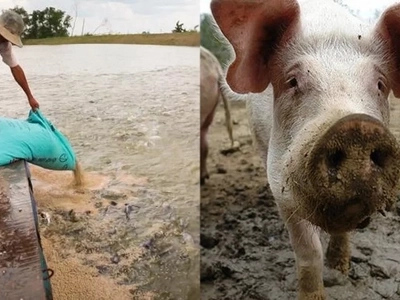 Magingat tayo! Tilapias from China are being feed with animal feces due to high demands