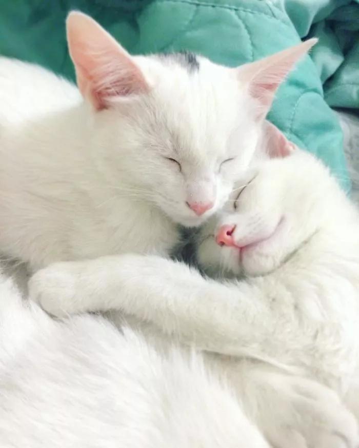 Conoce a los gatos gemelos más hermosos del mundo