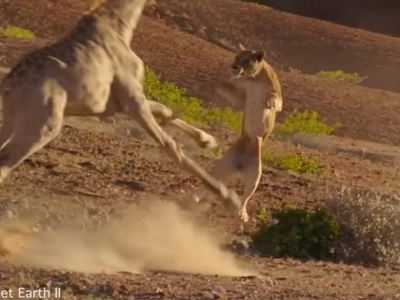 Lion Tries To Kill An Enraged Giraffe And Gets Totally Destroyed