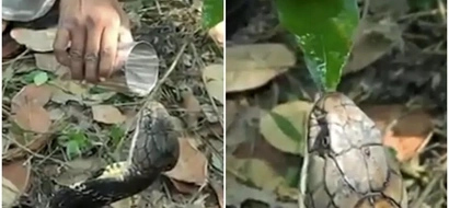 Kind but brave! See incredible moment man gives water to thirsty king cobra by HAND (photos, video)