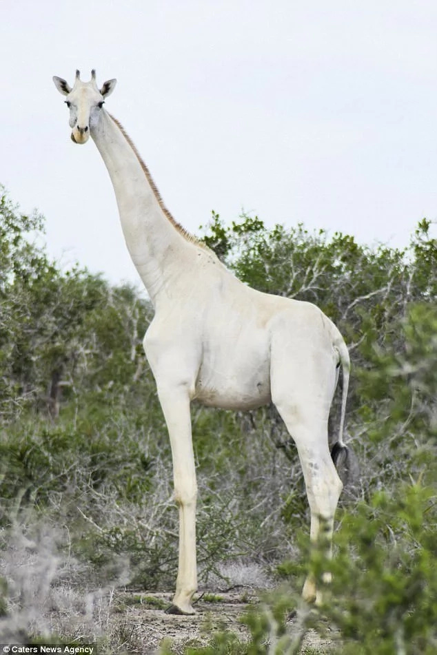 White giraffes? Never seen before extremely rare white giraffes spotted in Kenya