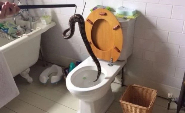 Boy, 5, went to check what had blocked their toilet only to see giant python staring back at him