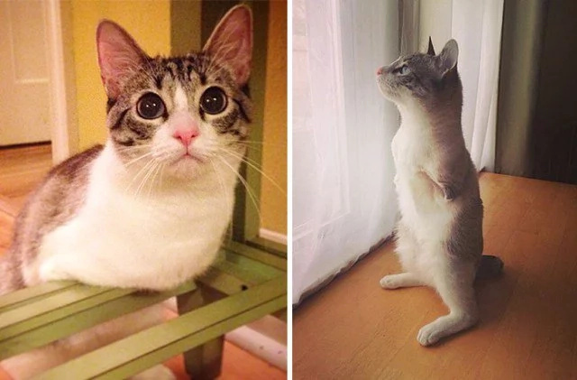 Cat with two legs gains almost 500,000 Instagram followers