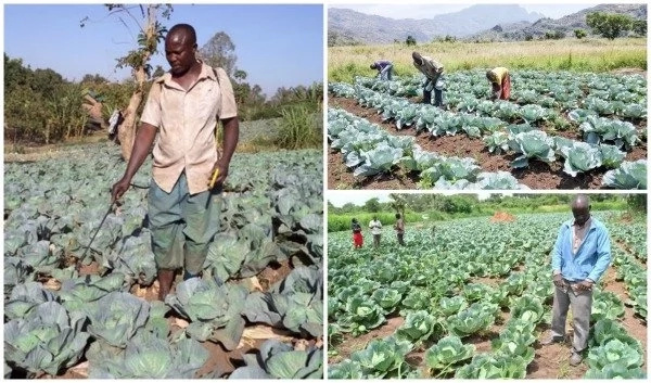 See how brothers earn millions by growing cabbages (photos)
