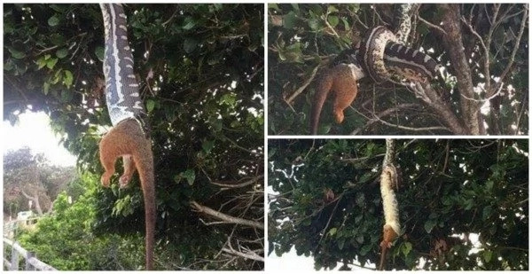 See dramatic moment a huge python swallows a possum whole while dangling from a tree (photos, video)