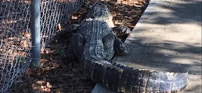 Scare as giant 2 meter alligator is spotted outside elementary school (photos)