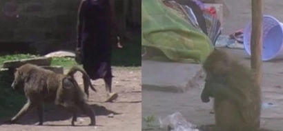 Outrage as baboons attack residents in Nakuru