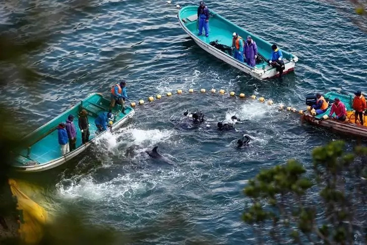 Dolphins in serious danger as Japan's annual hunt starts