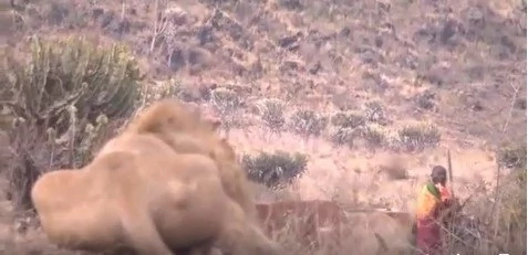 Maasai warrior braves marauding lion to protect his cattle