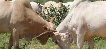 Luo man forced to feed his cows soda as his two bulls, Raila and Ngina, die