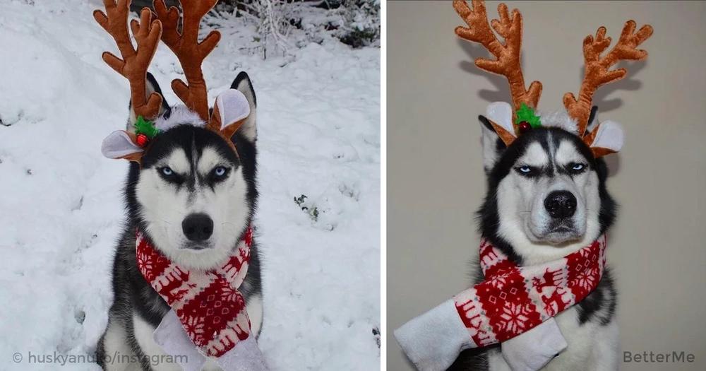 A Christmas card photo shoot with a funny Husky