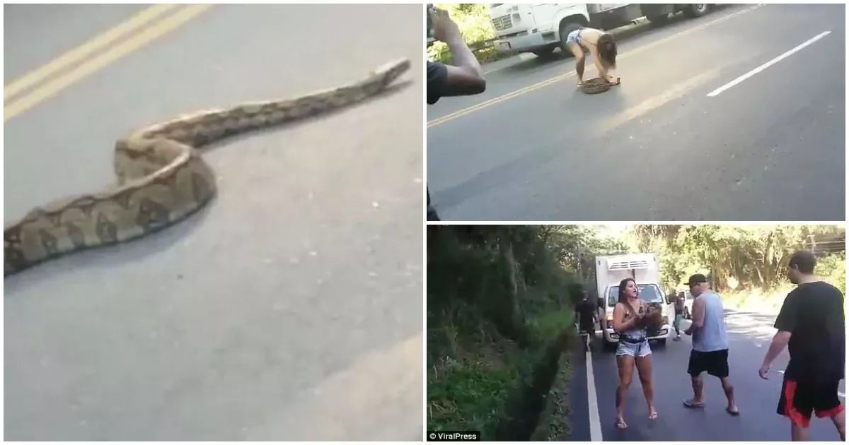 Fearless lady stuns men by removing 2.1-meter python that was blocking traffic