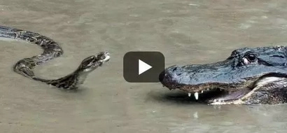 VIDEO: Giant SNAKE vs scary alligator brutal fight! The ending will SHOCK you