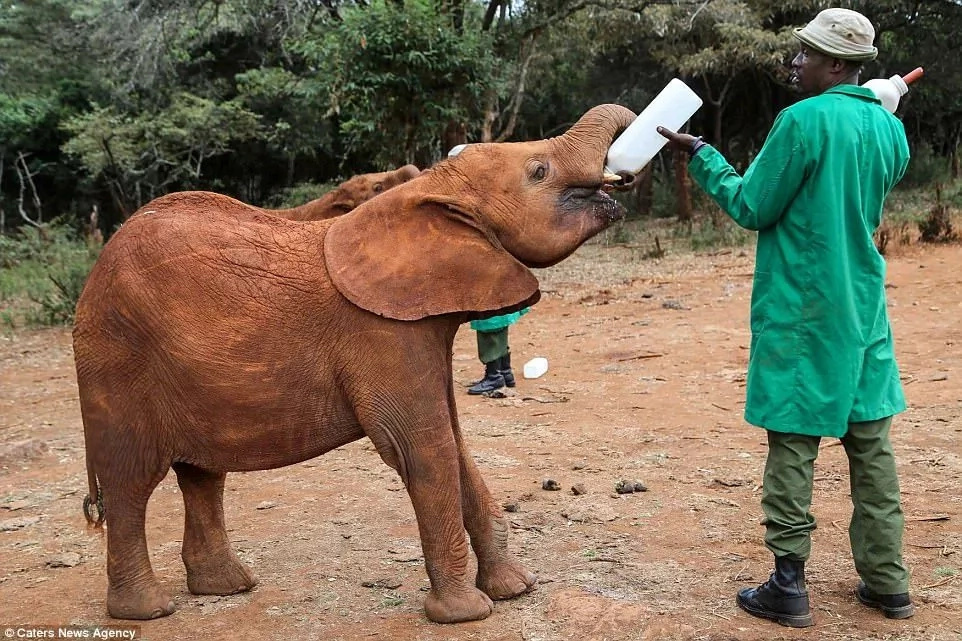 Gladdening! Orphaned elephant kisses man who saved her from her aggressor