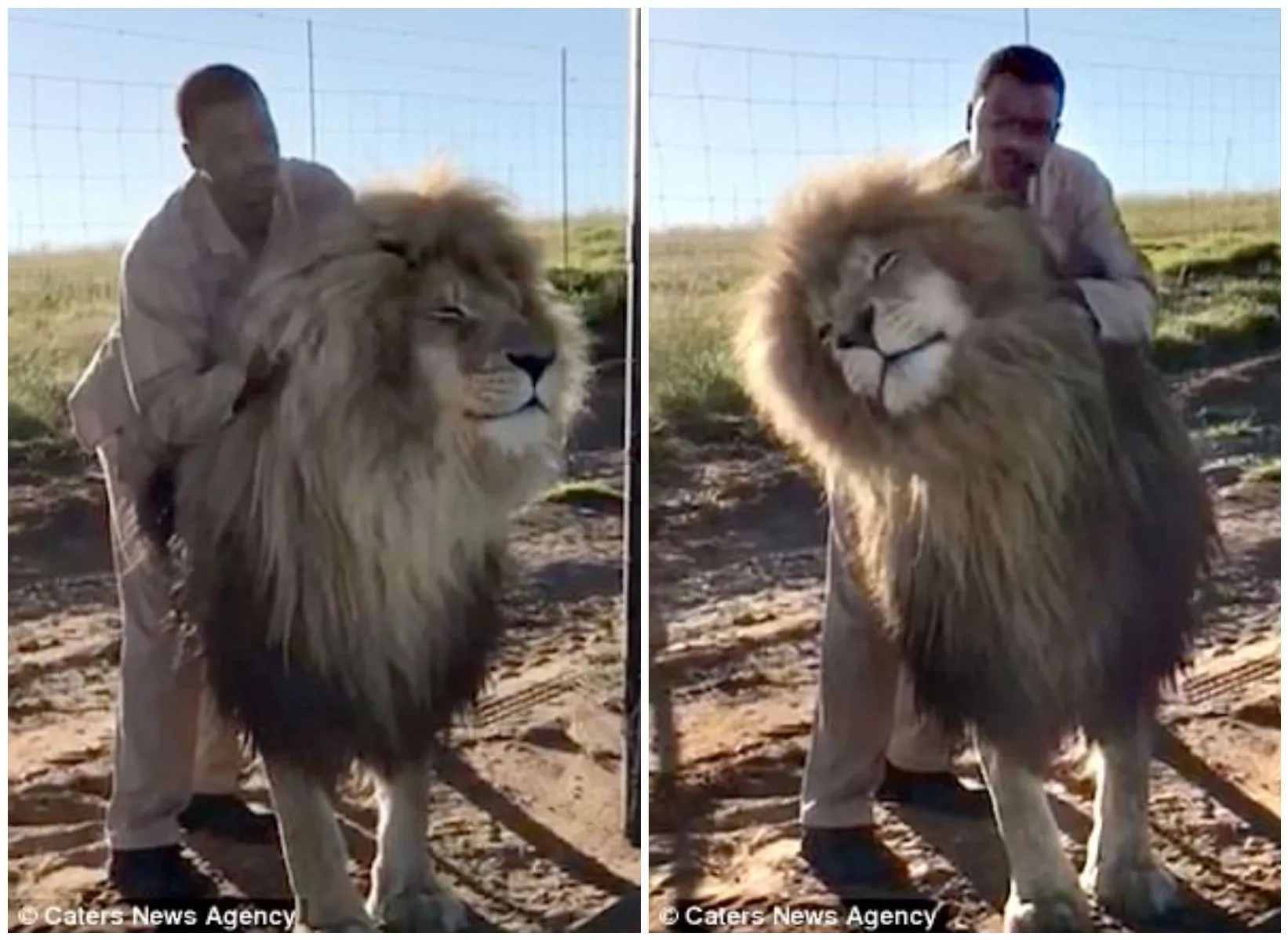 Brave keeper gives fully grown male LION head massage (photos, video)
