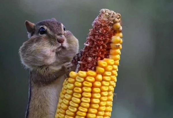 Despite general beliefs squirrels are also great fans of sweet corn kernels